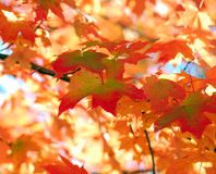 Orange Maple Tree Fall Foliage Royalty Free Stock Images
