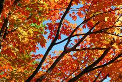 Orange Maple Tree Fall Foliage Stock Photography