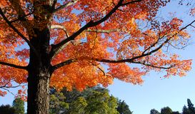 Orange Maple Tree Fall Foliage Royalty Free Stock Photography