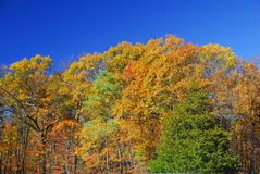 Orange Maple Tree Fall Foliage Royalty Free Stock Image