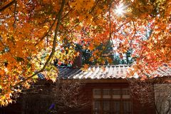 Orange maple tree and leaves Royalty Free Stock Image