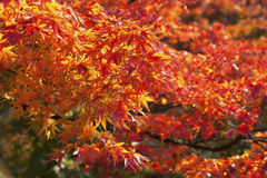The orange maples. The beatiful maple in Japan Royalty Free Stock Photos