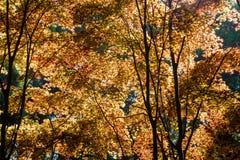 Orange Maples. Tall orange Japanese maple trees Acer palmatum in spring, backlit royalty free stock image