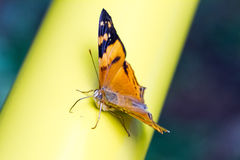 Orange mapwing butterfly Royalty Free Stock Photos