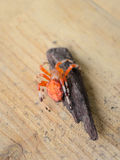 Orange Marbled Spider Top View Royalty Free Stock Photo