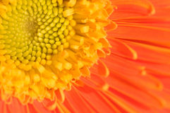 Orange marguerite Royalty Free Stock Photo