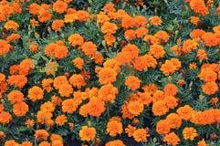 Orange marigold blooming in flowerbed Royalty Free Stock Photos