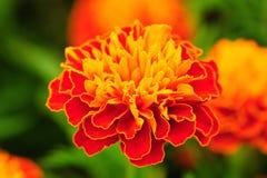 Orange marigold Royalty Free Stock Images