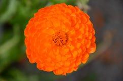 Orange marigold blossom. A single orange marigold blossom Stock Photos