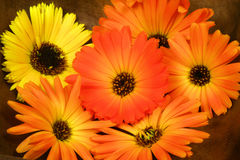Orange marigold in bowl Royalty Free Stock Images