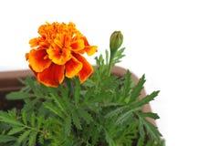 Orange marigold and bud in white Royalty Free Stock Image