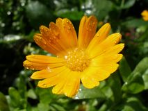 Orange Marigold with droplets. Close-up of orange Marigold flower with droplets in sunny Royalty Free Stock Images