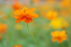 Orange marigold flower. S on green grass Stock Photography