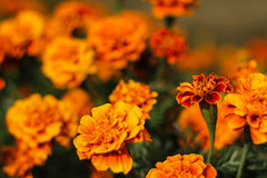 Orange marigold flower. Marigold flower bed in the garden at late afternoon time Stock Photos