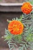 Orange marigold Stock Photos