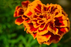 Orange marigold flower on blurred green background. Tagetes patula. Macro. Close-up. Soft focus. Selected focus.  stock photography