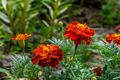 Orange marigold flower bush close up Royalty Free Stock Photos