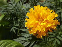 Orange marigold flower closeup Stock Photos