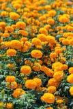 Orange marigold flower in garden Royalty Free Stock Photo