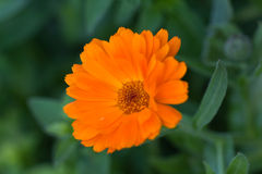 Orange marigold flower in garden Royalty Free Stock Photo