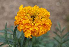 Orange marigold flower in the garden royalty free stock image