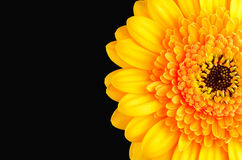 Orange Marigold Flower Isolated on Black Stock Image