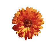 Orange marigold flower isolated Stock Photos