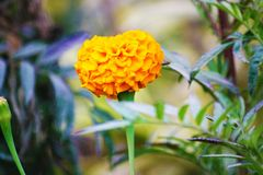 Orange Marigold Flower with Unique abstract. Orange Marigold Flower.It is Looking so beautiful because it is a single unique abstract royalty free stock images