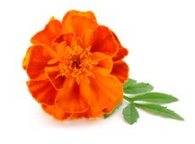 Orange Marigold flower, Tagetes erecta, Mexican marigold, Aztec marigold, African marigold isolated on white background royalty free stock photography