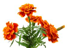 Orange Marigold flower, Tagetes erecta, Mexican marigold, Aztec marigold, African marigold isolated on white background royalty free stock images