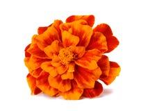Orange Marigold flower, Tagetes erecta, Mexican marigold, Aztec marigold, African marigold isolated on white background royalty free stock photos
