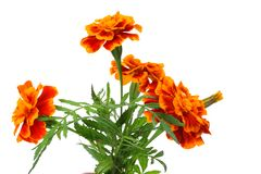 Orange Marigold flower, Tagetes erecta, Mexican marigold, Aztec marigold, African marigold isolated on white background stock image