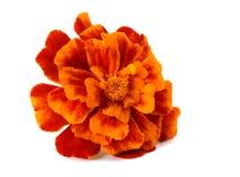 Orange Marigold flower, Tagetes erecta, Mexican marigold, Aztec marigold, African marigold isolated on white background royalty free stock photo