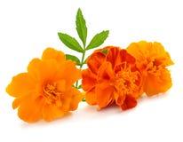 Orange Marigold flower, Tagetes erecta, Mexican marigold, Aztec marigold, African marigold isolated on white background stock photos