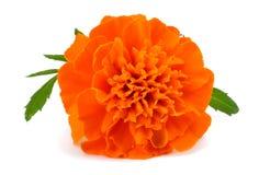 Orange Marigold flower , Tagetes erecta, Mexican marigold, Aztec marigold, African marigold isolated on white Royalty Free Stock Photos