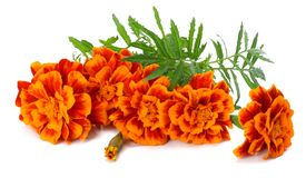 Orange Marigold flower Tagetes erecta, Mexican marigold, Aztec marigold, African marigold Tagetes erecta flower isolated. On white Royalty Free Stock Photos