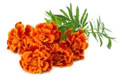 Orange Marigold flower Tagetes erecta, Mexican marigold, Aztec marigold, African marigold Tagetes erecta flower isolated. On white Stock Photos