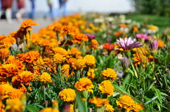Orange marigold on the flowerbed. Many orange marigold on a bright green flower bed Royalty Free Stock Images