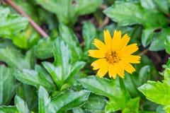 Orange marigold in flowerbed in summer city park. Stock Photos