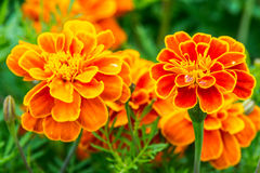Orange marigold in flowerbed in summer city park. Royalty Free Stock Photos