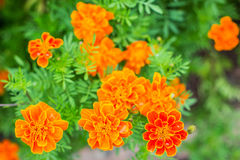 Orange marigold in flowerbed in summer city park. Stock Image