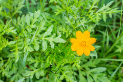 Orange marigold in flowerbed in summer city park. Stock Images
