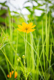 Orange marigold in flowerbed in summer city park. Royalty Free Stock Photography