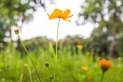 Orange marigold in flowerbed in summer city park. Royalty Free Stock Photos