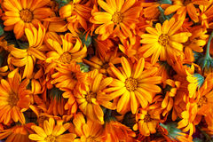 Orange marigold flowers Royalty Free Stock Photos