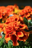 Orange Marigold Flowers. Close up in a garden Stock Photography