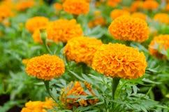 Orange Marigold flowers. Beautiful orange Marigold flowers in the garden stock photo