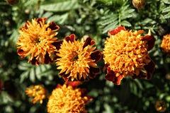 Orange marigold flowers in the dense green foliage Stock Photos