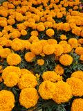 Orange marigold flowers in a garden. Nature and botany, natural flower with colorful petals for garden decoration royalty free stock photography