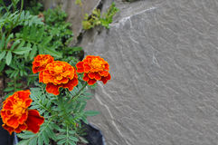 Orange Marigold flowers Stock Photos